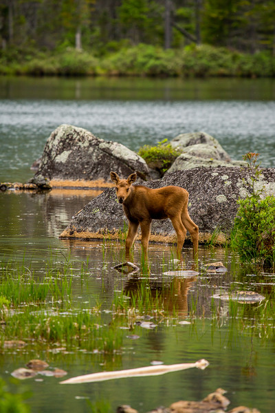 Moose calf (Alces alces), Baxter state park, Maine, USA