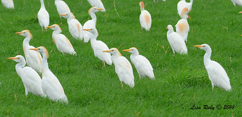 Cattle Egret - 7/27/2014 -  Imperial Valley