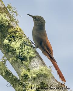 Olivaceous Woodcreeper, Ecuador