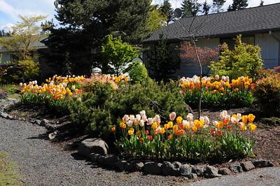 My Tulips 2014