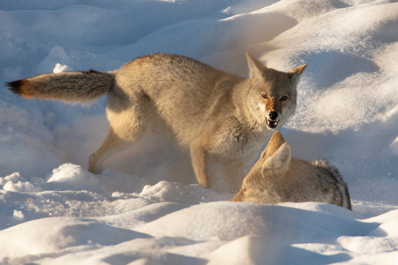 387A9589 Two coyotes fighting close.jpg