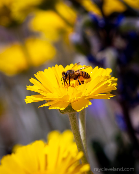 Bee and Desert Marigolds