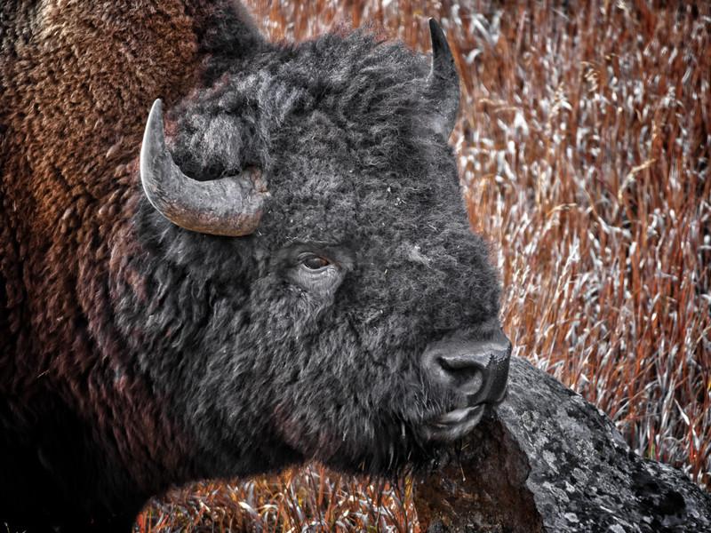 Bison & Rock