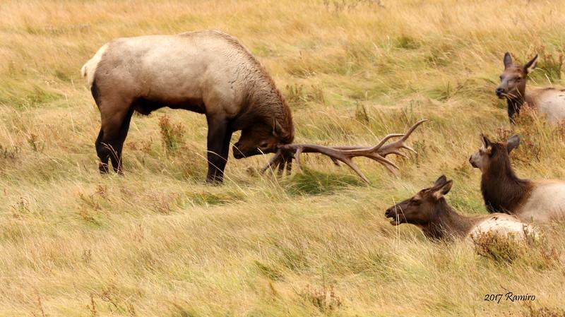 Elk IMG_0690.jpg