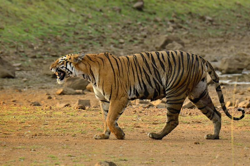 Tigress-Maya-Tadoba.jpg