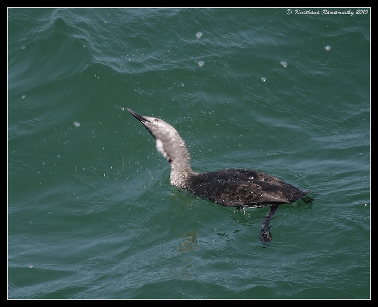 Red-throated Loon Male in breeding plumage, Imperial Beach Pier, San Diego County, California, April 2010
