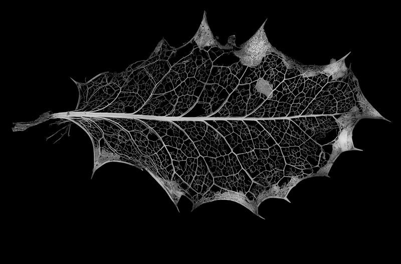Skeletonized Holly Leaf