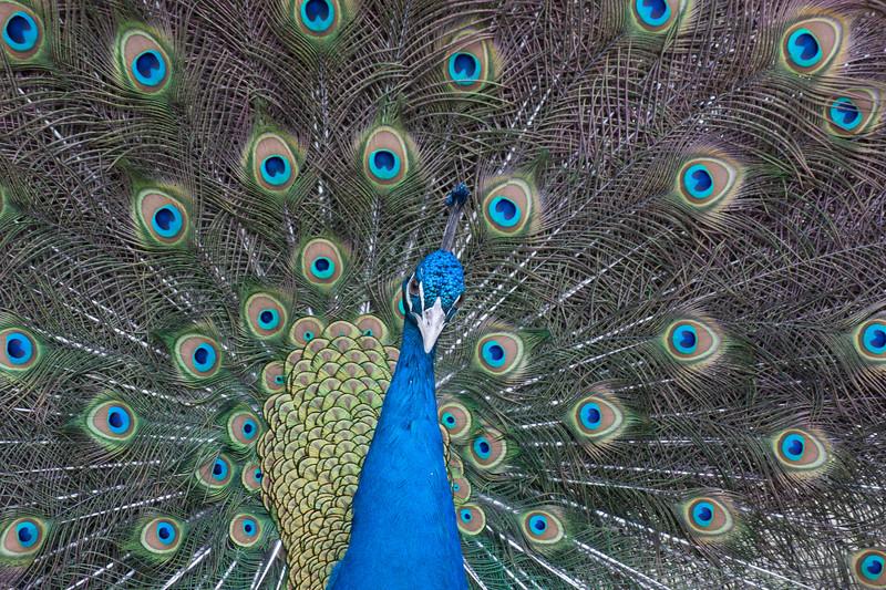 Peacock 2-9484.jpg