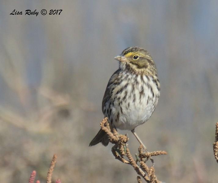 Savannah Sparrow -  12/24/2017 - 7th Street, Imperial Beach