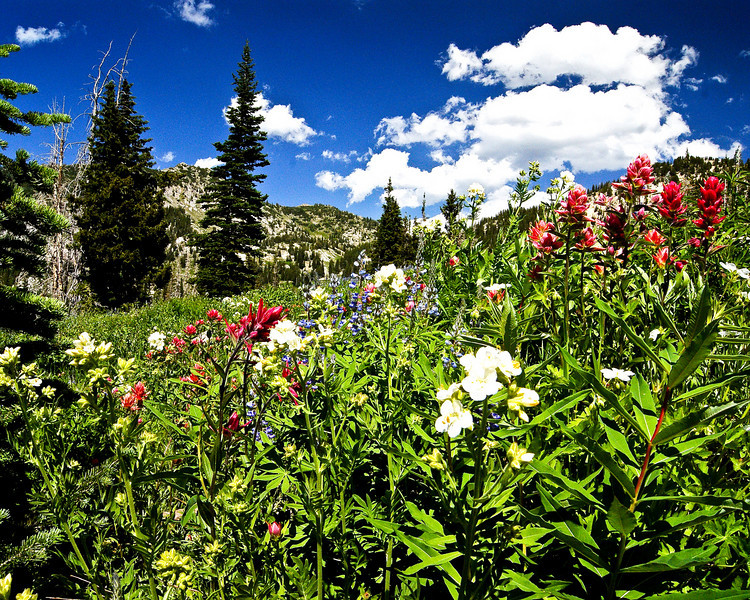Wildflower Meadow, Ablion Basin, Utah