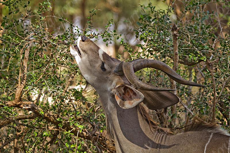 Greater Kudu (Tragelaphus strepsiceros) קודו בכיר