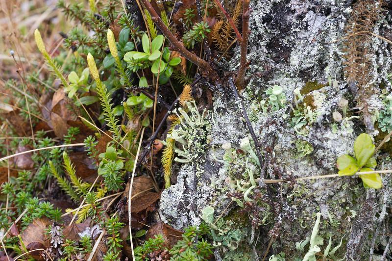LIchen and Moss in Kilpisjärvi I