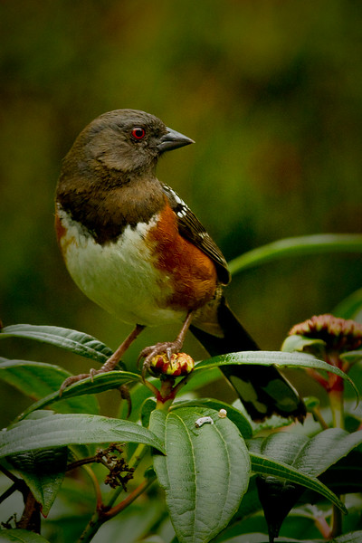 towhee4421adjusted copy.jpg