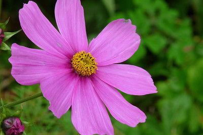 DAY 260 - September 17, 2011 - Mary's Cosmos Cynthia Meyer, Tenakee Inlet, Alaska