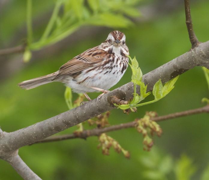 Song Sparrow Park Point Duluth MN IMG_8984.jpg