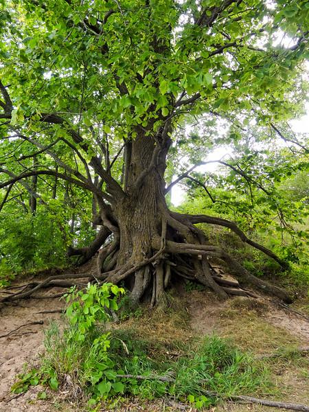 180 Michigan August 2013 - Sleeping Bear Dunes Tree.jpg