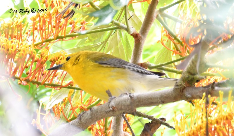 Prothonotary Warbler - 6/2/2019 - Point Loma Residential Area