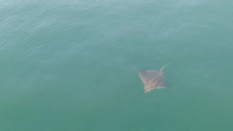 Peaceful Eagle Stingray Swimming in the Ocean