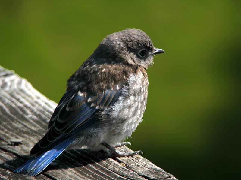 bluebird_fledgling_1675.jpg