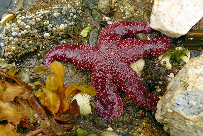 Sea Star August 2011, Cynthia Meyer, Tenakee Springs, Alaska