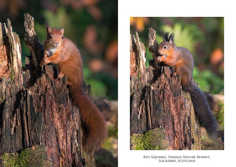 Red Squirrel 2 image set.jpg