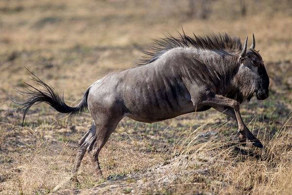 Antelope and Wildebeest
