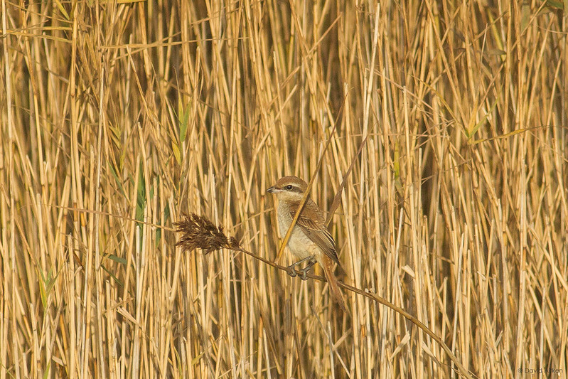 Brown Shrike - Spurn, Yorkshire 31/10/16