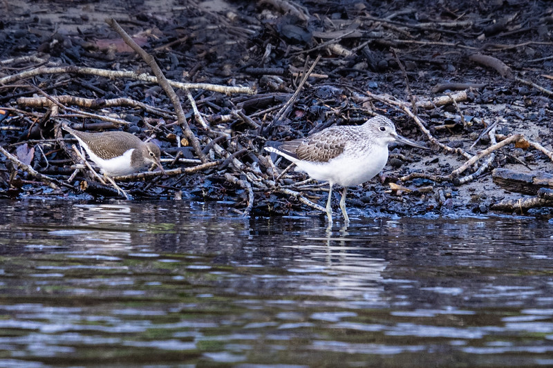 Greenshank and Common Sandpiper