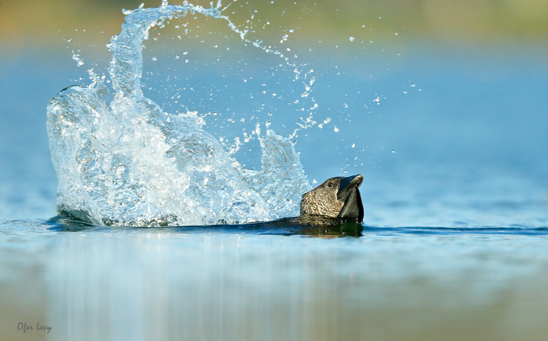 Musk Duck 4.jpg