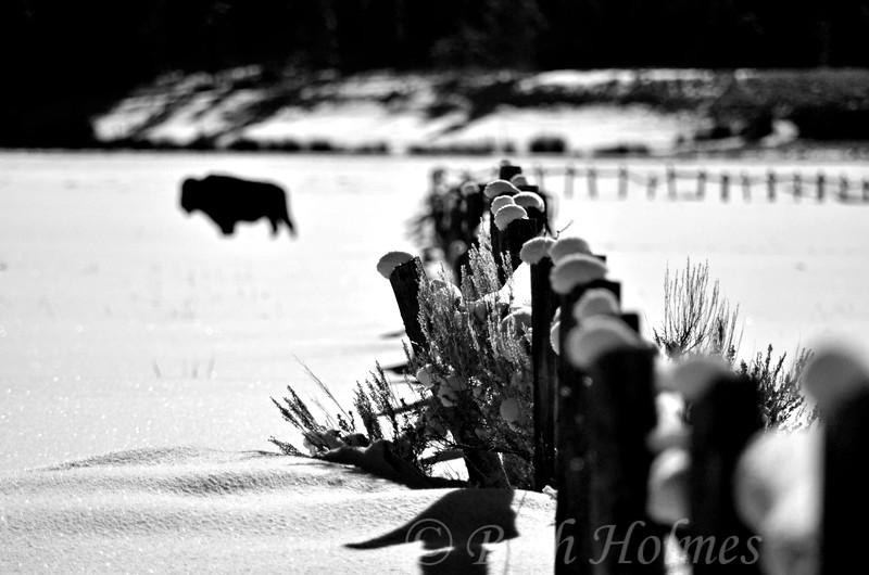 Forgotten Buffalo