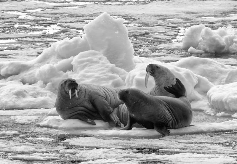 walrus fam.jpg
