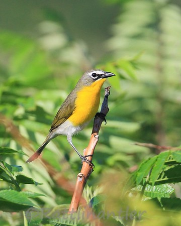 Yellow-Breasted Chats