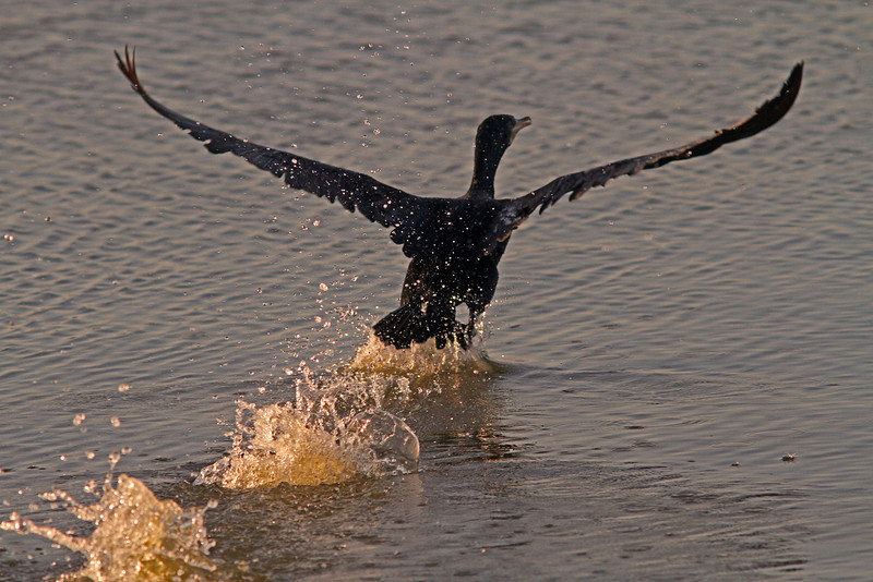 Cormorant departing pond