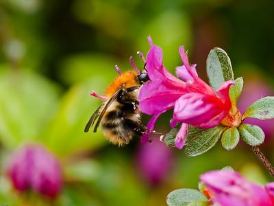 Bees (Apidae)