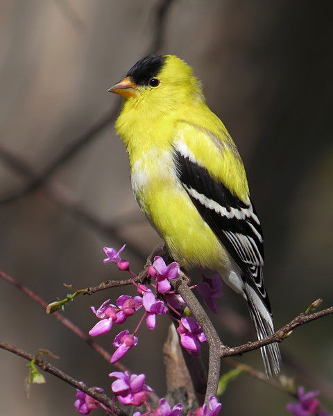 SX50_goldfinch_bit_290.jpg