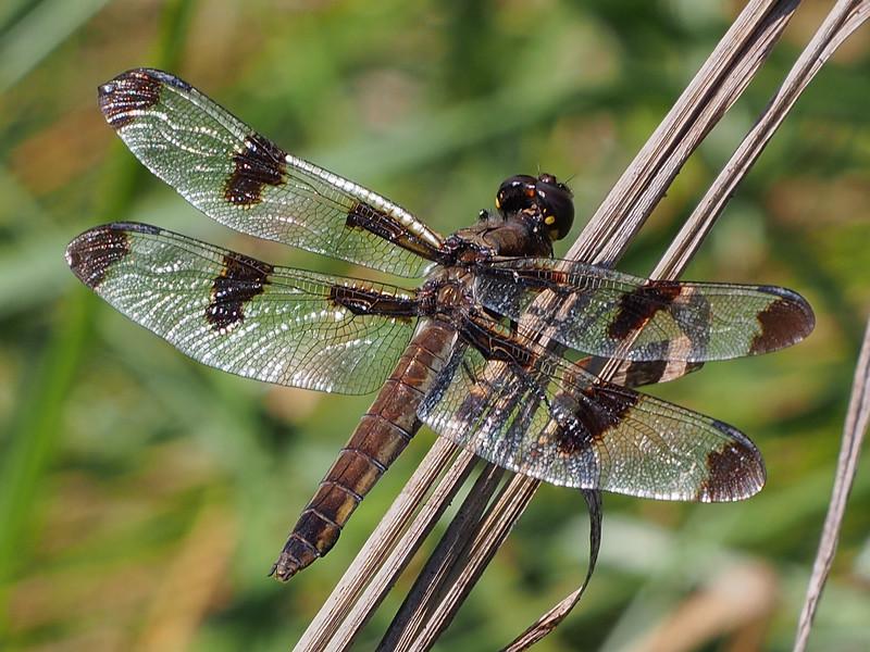 Twelve-spotted Skimmer, female