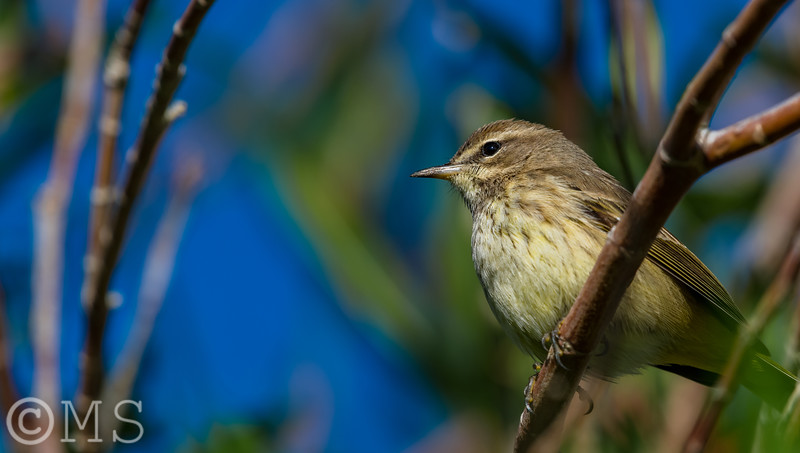 Palm Warbler Image Gallery