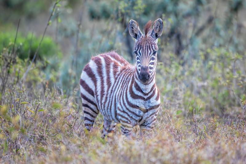 Zebra 7598.jpg