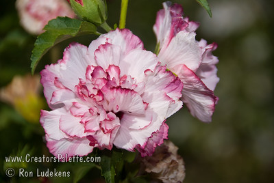 Hibiscus syriacus (Althea, Rose of Sharon)
