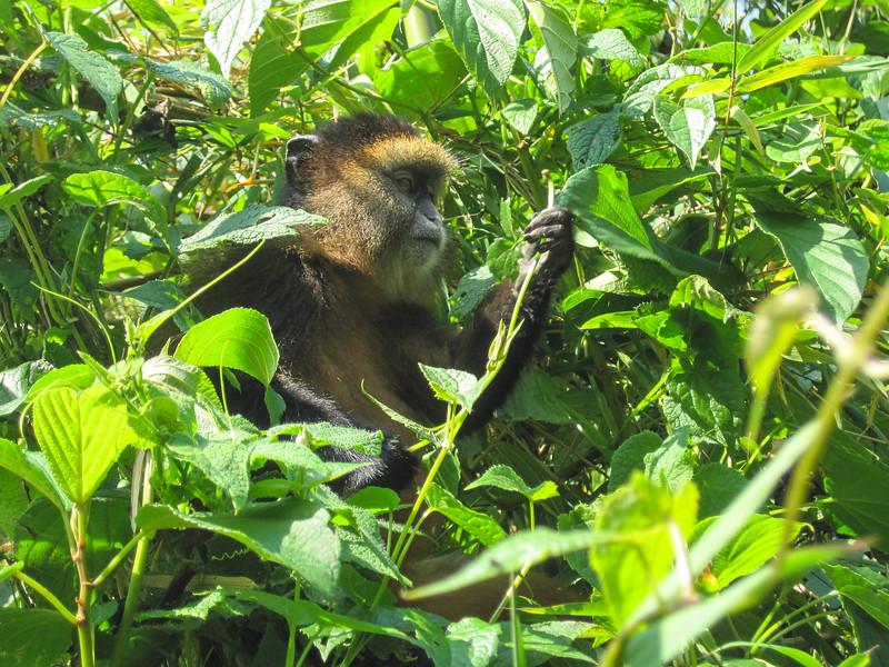 Golden monkeys duly found