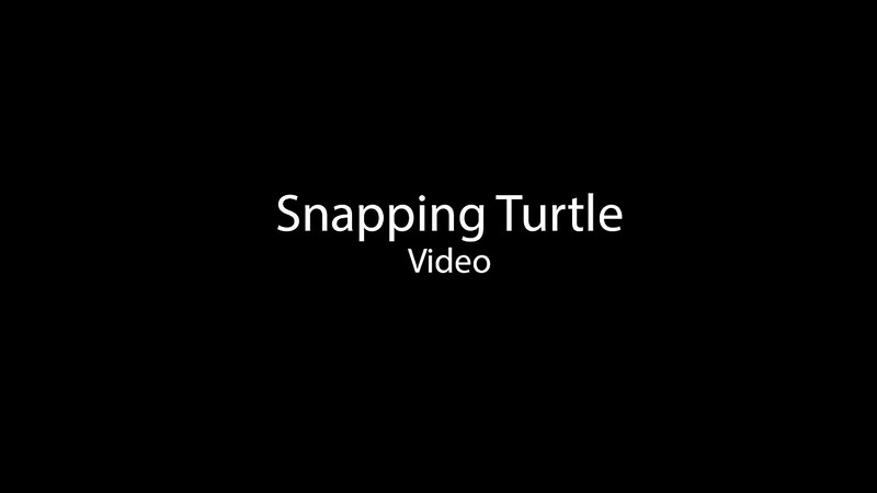 VIDEO-Snapping Turtle