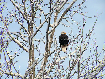 025-eagle-chugiak_alaska-03dec06-1502