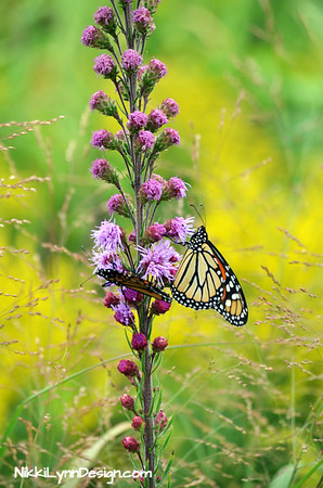 A stunning, flowering plant that matures to a height of about 24 to 48 inches tall.  The flowers of Gayfeather are nectar rich, attracting an array of beneficial insects to the garden, such as butterflies, bumblebees, hummingbirds and ladybugs as well.