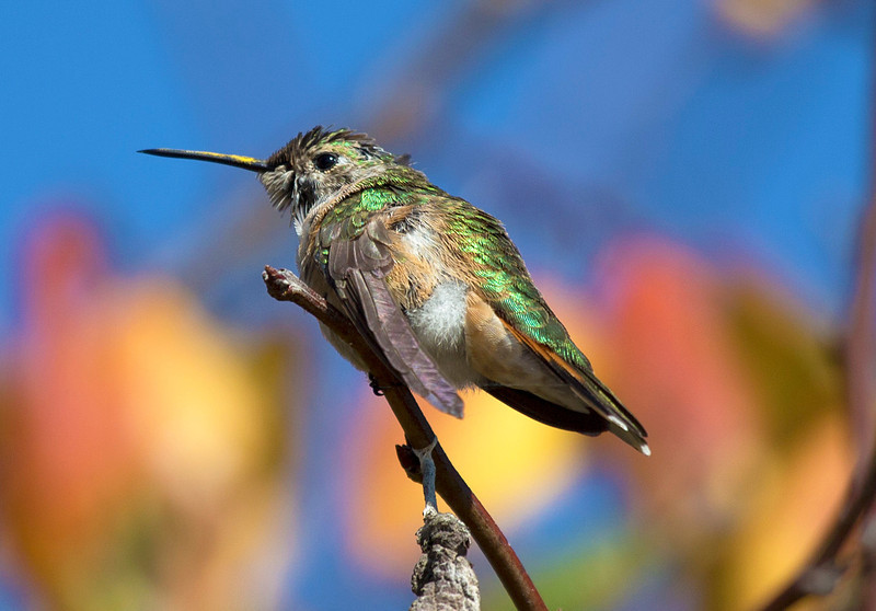 hermannparkhummingbird8.jpg