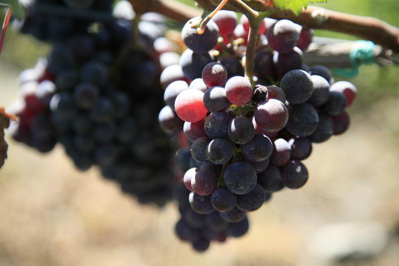 Future Pinot Noir?