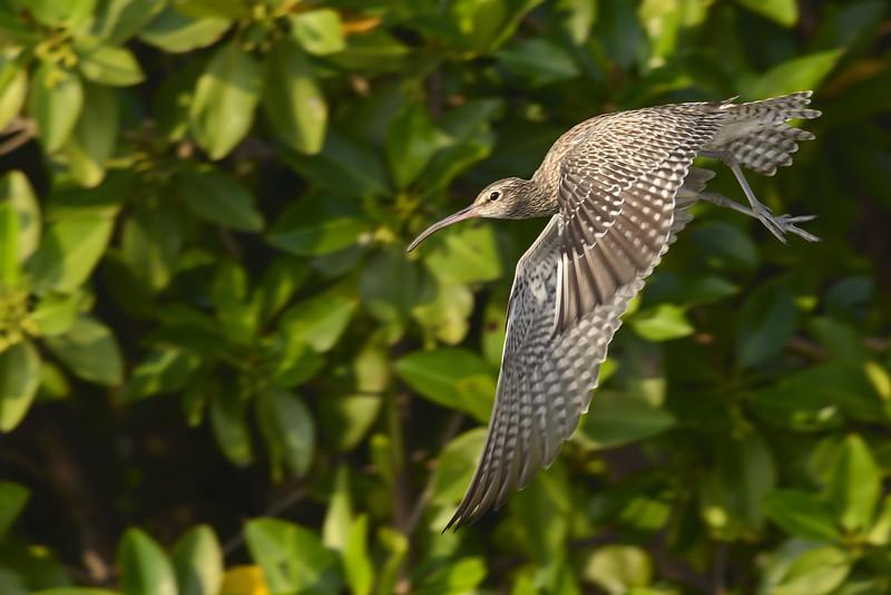 Wimbrel-in-flight.jpg