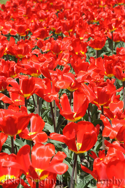 001 It's Tulip Time In Holland Every Year In May 2009.JPG