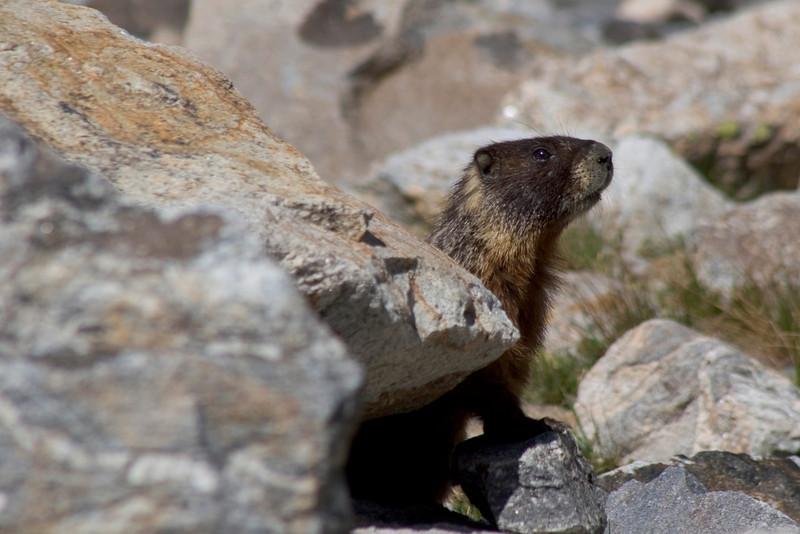 yellow-bellied marmot003.jpg