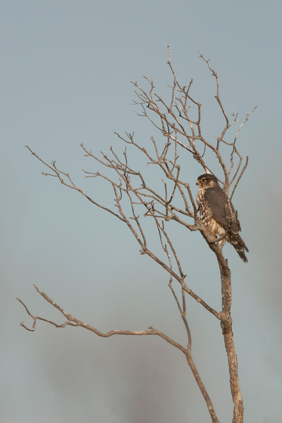 Northern Harrier Perched.jpg