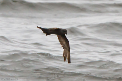Oct. 2011 Bodega Bay Pelagic